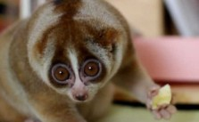 Cutest Slow Loris Ever!!!