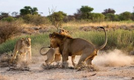 See What Jealous Lioness Did to a Lion For Cheating